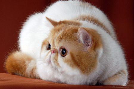 Экзот кошка