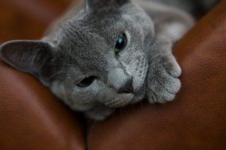 Русская голубая порода кошек