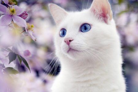 Порода Ангорская кошка