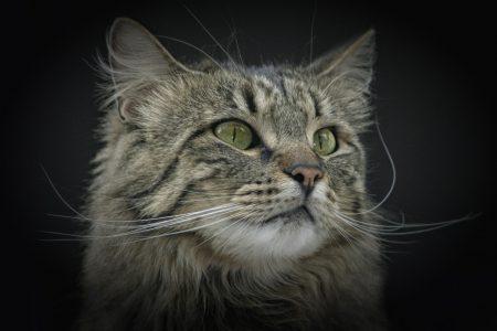 .норвежская лесная кошка. Фото породы