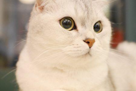 Порода шотландская кошка