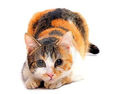 гены трехцветных кошек