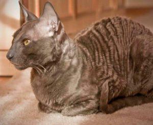 Порода кошек Корниш рекс