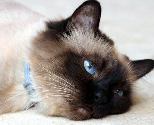 Бирманская кошка. Описание породы