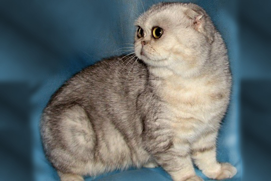 Флэппиг экзотическая порода кошек