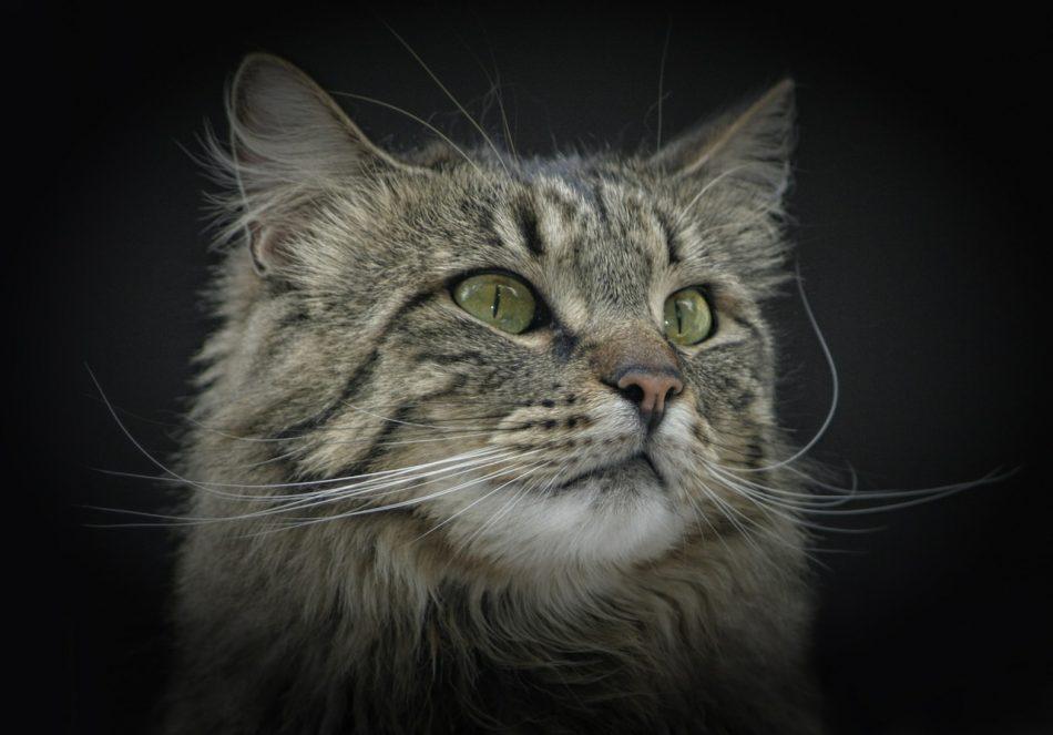 Норвежская лесная кошка. Фото породы