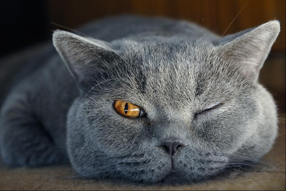 прикольные картинки с британскими кошками