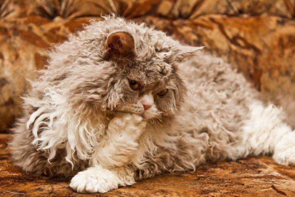 Порода кошек Селкирк Рекс