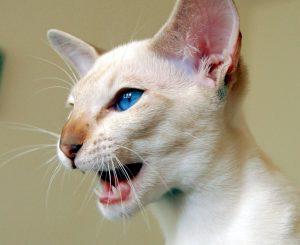 Болезни сиамских кошек