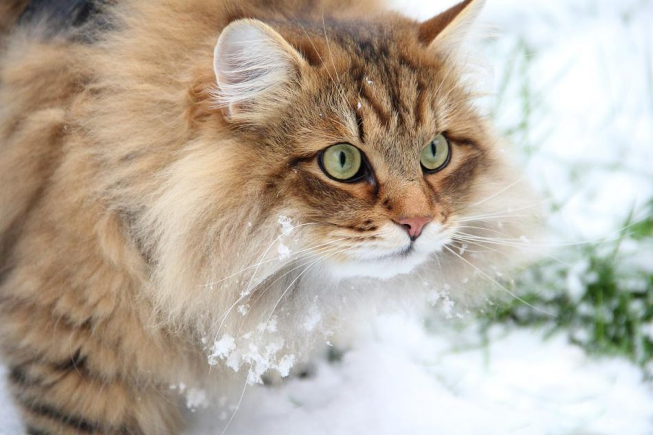 Сибирская порода кошек