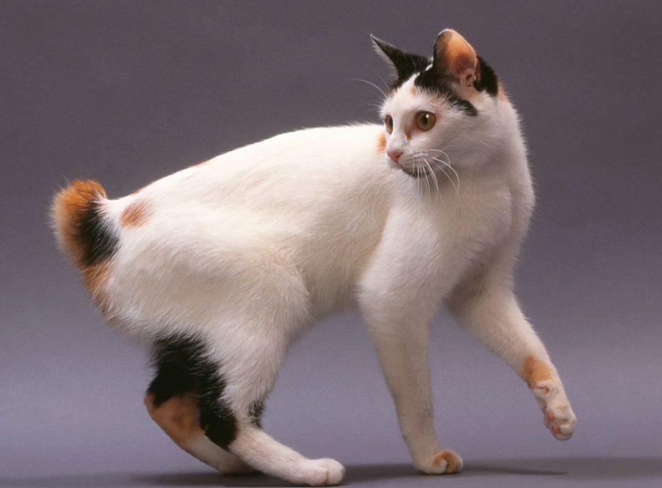 Порода кошек Японский бобтейл